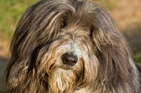 bearded collie brown bearded collies history and health