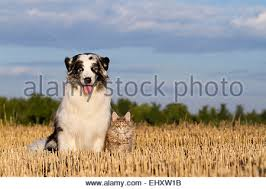 australian shepherd hair australian shepherd and maine coon cat in front of white