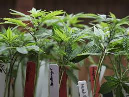 Vermont travel safety images Legal pot in vermont lawmakers say yes but will governor jpg