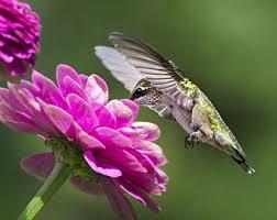 Hummingbird Garden Decor Photo Print Black And White Photography Hummingbird Print