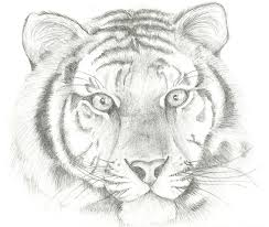 tiger sketch drawing