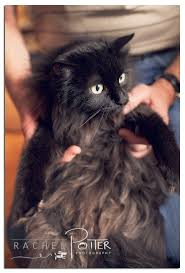 620 best black cats images on pinterest black cats animals and