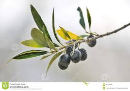 black olives on branch of olive tree stock photo image of healthy