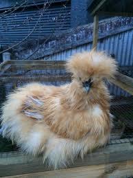 backyard poultry forum u2022 view topic buff or light blue buff silkie