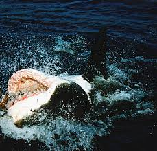 predators prowling the sea scary or stunning sharks are jawesome