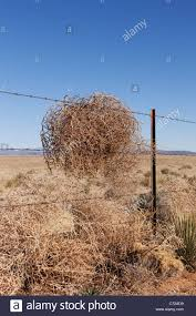 tumbleweed dry tumbleweed on a barbed wire fence new mexico stock photo