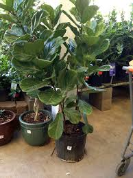 cheap and easy to find fiddle leaf fig trees little green notebook