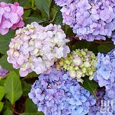 lilac color top lilacs for fragrance and color in your landscape