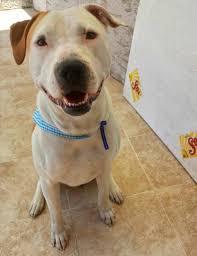 american pitbull terrier 9 meses alan solana alanbronhk twitter