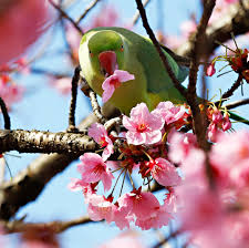 washington d c cherry blossoms spring to life pictures cbs news