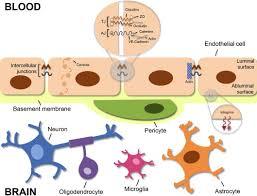 Blood Brain Barrier Anatomy Blood U2013brain Barrier And Bilirubin Clinical Aspects And
