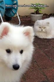 White Cat Meme - 19 white cat memes quoteshumor com