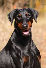 affenpinscher zucht deutschland dobermann hunde