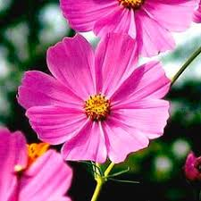 12 Best Annual Flowers For by 12 Budget Friendly Annual Flowers For Your Garden Gardens