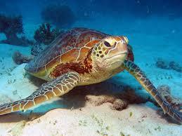 great barrier reef info com region guide green sea turtles