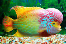 ornamental fish manufacturers suppliers of sajawati machhliyan