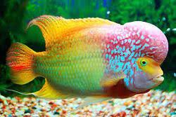 Buy Ornamental Fish Ornamental Fish Sajawati Machhliyan Suppliers Wholesalers