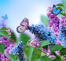 purple and blue flowers lilac flowers beautiful butterflies blossom bloom blue