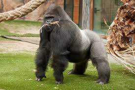Gorilla by 110 Gorilla Hd Wallpapers Backgrounds Wallpaper Abyss