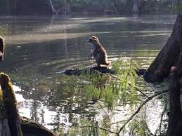 raccoon rides alligator in florida u2014is it for real