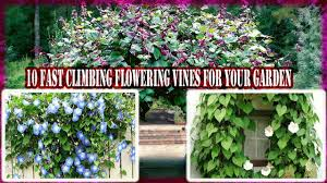 10 fast climbing flowering vines for your garden gardening tips