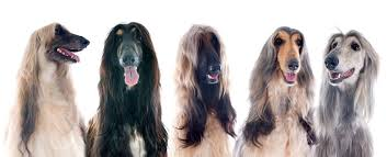 afghan hound rescue england the afghan hound the king of dogs wagbrag