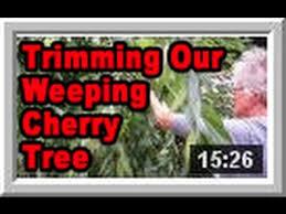 weeping cherry tree wisconsin garden 535