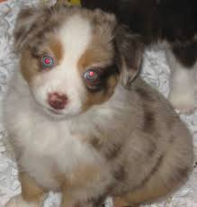 australian shepherd dog puppies american stock dog registry american stock dog registry