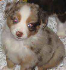 australian shepherd illinois american stock dog registry american stock dog registry