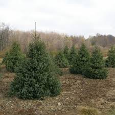 spruce trees for sale nature hills nursery