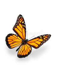 monarch butterfly isolated on white with shadow stock image
