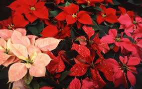 caes newswire poinsettia care