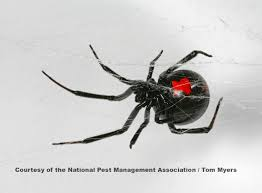 Black Widow Spiders Had A - spider facts for kids arachnid information for students