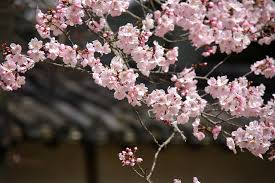 Japanese Flowers Pictures - 10 best flowers in japan when and where to view them hub japan