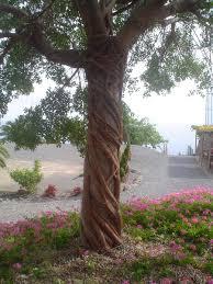 vine tree by jen den1 on deviantart