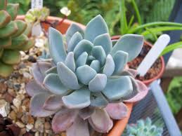 succulents meaning file unidentified succulents 6034229815 jpg wikimedia commons