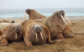walrus wallpapers wallpaper cave