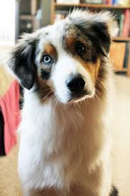 australian shepherd jack russell terrier 30 best australian shepherd images on pinterest aussies animals