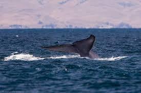 california blue whale california the central california guide