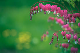 bleeding heart flower bleeding heart flower meaning flower meaning