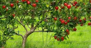 apple tree dreams meaning