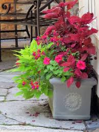 Container Gardening Potatoes - this brightly colored summer container incorporates red coleus