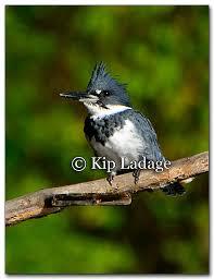 Iowa birds images Ladage photography photographs by kip ladage images of iowa jpg