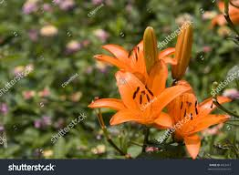 asian lilies asian lilies stock photo 4423477