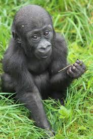 gorilla zooborns