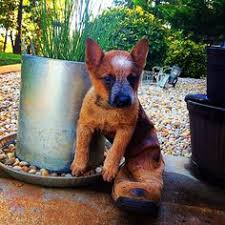 australian shepherd quesnel meet bahloo australian cattle dog pitbull terrier mix