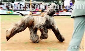 afghan hound national 2014 afghan hound entertainment photo afghan hound during u0027national