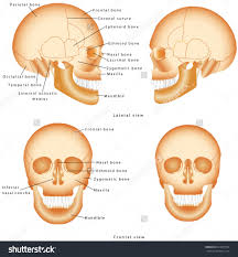 the human skeleton with labels image collections human anatomy image