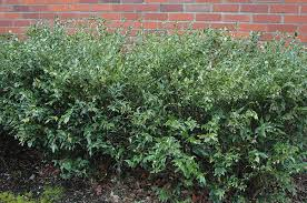 sarcococca confusa very fragrant in winter grows in deep shade