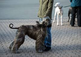 afghan hound owner reviews 2017 crufts dog show in birmingham england
